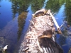Hooded Merganser shares log with Turtle