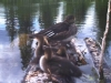 Hooded Merganser and Young