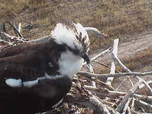 Male Osprey on Nest
